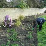 planting primroses 1